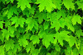 Texture of fresh green maple leaves — Stock Photo