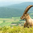 Stock Photo: Alpine goat in warm tones with mountains in the background