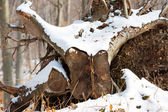 Closeup of the end of a log in the cold winter weather — Stock fotografie