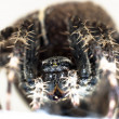 Photo: Big spider on isolated white background macro shot