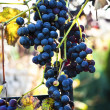 Blue grape on blurry background — Stock Photo #6299357