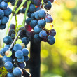 Blue grape on blurry background — Stock Photo