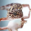 Leopard gecko on reflecting background - Zdjcie stockowe