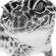 Gecko close up — Stock Photo