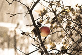 Frozen winter apple on a tree in snow and wind — Stock Photo
