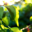 Stock Photo: Fresh green leaves against blurry background