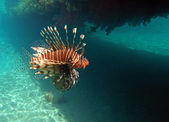 Red lion fish — Stock Photo