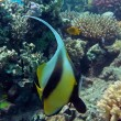 Banner fish at the Red Sea coral reef - Stock Photo