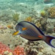 Sohal surgeonfish at Red Secoral reef — Stock Photo #5749014