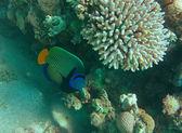 Imperator angel fish — Stock Photo