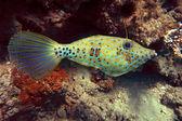 Scrawled filefish — Stock Photo