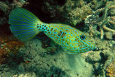 Scrawled filefish — Stock Photo