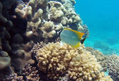Black-tail pearlscal butterfly fish — Stock Photo