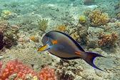 Pez cirujano Sohal en el arrecife de coral del mar rojo — Foto de Stock