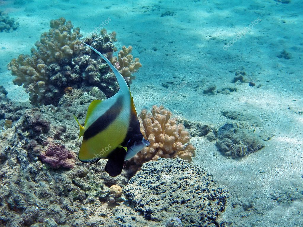 Banner fish at the red sea coral reef stock photo for Red sea fish