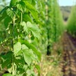 Hops plantation — Stock Photo