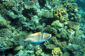 Bluefaced Angelfish — Stock Photo