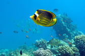 Diagonal Butterfly fish — Stock Photo