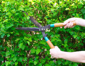 Hands are cut bush clippers — Stock Photo