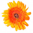 Flower Gerbera — Stock Photo #5744782