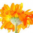 flower gerbera — Stock Photo