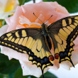 Tiger Swallowtail (Papilio Glaucus) Butterfly on A Cone-flower - Foto de Stock