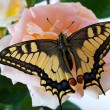 Tiger Swallowtail (Papilio Glaucus) Butterfly on A Cone-flower - Foto Stock