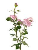 Roze roos geïsoleerd op witte achtergrond — Stockfoto