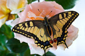Tiger Swallowtail (Papilio Glaucus) Butterfly on A Cone-flower — Stock Photo