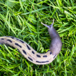 Big slug on the green grass — Foto Stock