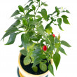 Stock Photo: Red pepper bunch on white