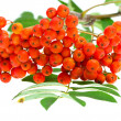 Royalty-Free Stock Photo: Rowan berries and leaves on white