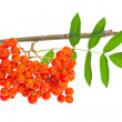 Rowan berries and leaves on white — Stock Photo #6498485