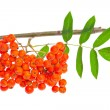 Stock Photo: Rowberries and leaves on white