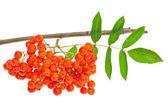 ナナカマドの果実と白の葉 — ストック写真
