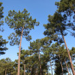 View of pine forest with blue sky — Stock Photo