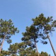 View of pine forest with blue sky — Stock Photo #5696230