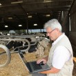 Senior man with laptop in barn — Stock Photo