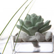 Succulent in transparent flowerpot — Stock Photo