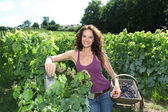 Beautiful woman harvesting grapes — Stockfoto