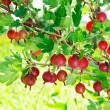 Red gooseberries - Stockfoto