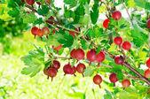 Red gooseberries — Stock Photo