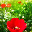 Red tulip in the garden — Lizenzfreies Foto