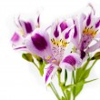Alstroemeria bouquet isolated over white — Stockfoto