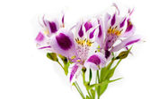 Alstroemeria bouquet isolated over white — Stock Photo