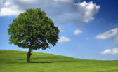 Massive tree on green field - blue sky — Stok fotoğraf