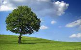 Ogromne drzewo na zielonym polu - błękitne niebo — Zdjęcie stockowe