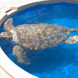 Turtle in Captivity — Stock Photo #5823892