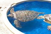 Turtle in Captivity — Stock Photo