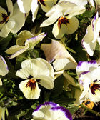 Pansies garden — Stock Photo